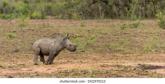 White Rhino calf going to the toilet