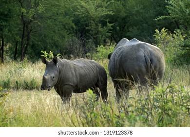 White rhino and calf, Matobo National Park, Zimbabwe