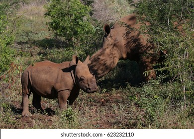 White rhino calf standing near mother, South Africa