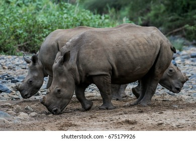 White rhino carefully walking in dry riverbed, Kruger National Park, South Africa