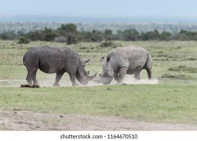White Rhino (Ceratotherium simum)  - Collision Course
