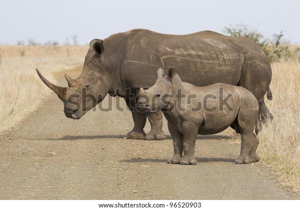 White Rhino, (Ceratotherium simum), Kruger Park, South Africa