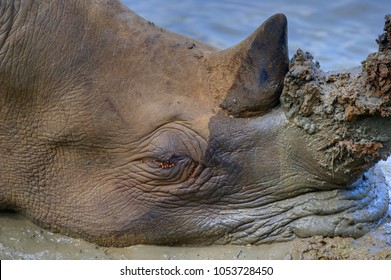 WHITE RHINO (Ceratotherium simum) snoozing in a mud wallow, At the rate they are being slaughtered in conservation areas and reserves, they will be extinct within a generation.