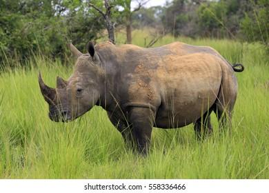 White Rhino (Ceratotherium simum). Rhino Treking in Ziwa Rhino Sanctuary, Uganda