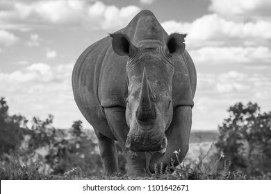 White rhino ( Ceratotherium Simum), very close, Welgevonden, South Africa.