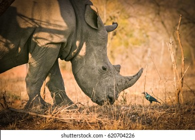 White rhino chatting with a bird, Kruger National Park, South Africa