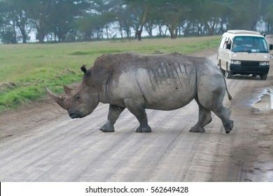 White rhino crossing the road in Lake Nakuru National Park, Kenya