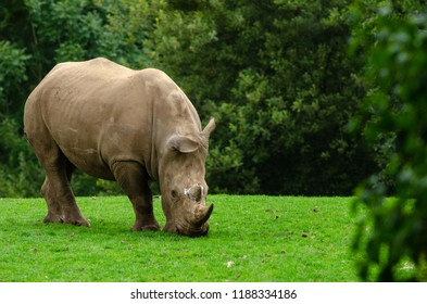 A white rhino grazes