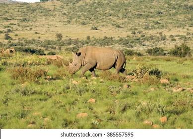 White rhino grazing in Pilanesberg Game Reserve, South Africa