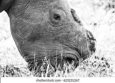 White rhino with horn removed to protect from poaching, South Africa