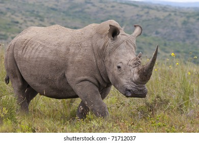 White rhino image, taken in a private game reserve in South-Africa