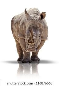 White rhino - isolated