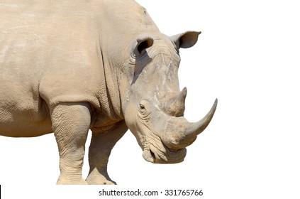 White rhino isolated on white background