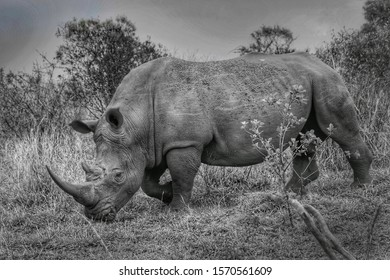 White rhino in Kruger National Park