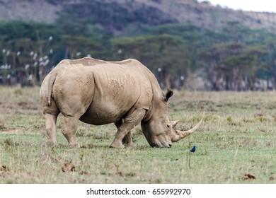 White Rhino in Lake Nakuru National Park, Kenya