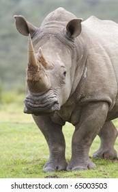 White rhino listening