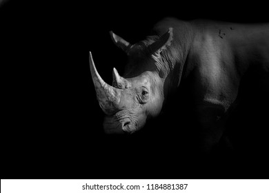 a white rhino lurking in the dark