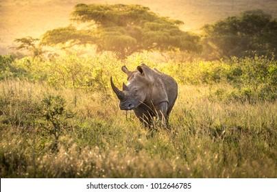White rhino male in the evening light