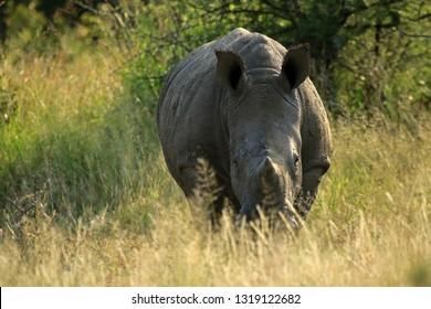 White rhino, Matobo National Park, Zimbabwe
