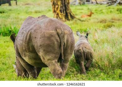 White rhino mother and calf on green savanna landscape