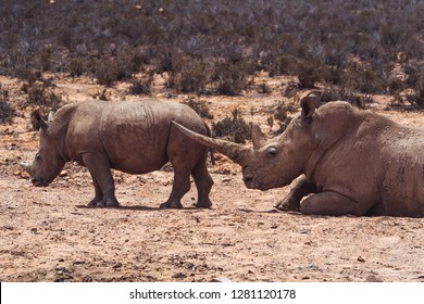 A white Rhino mother with her baby in private game reserve
