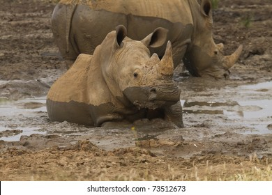 White rhino mud wallowing in Madikwe reserve South Africa.