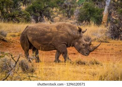 White rhino on an African Wilderness safari