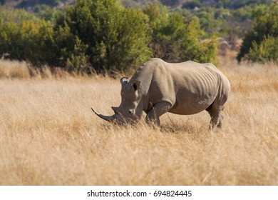 White rhino on patrol in the long dry winter grass