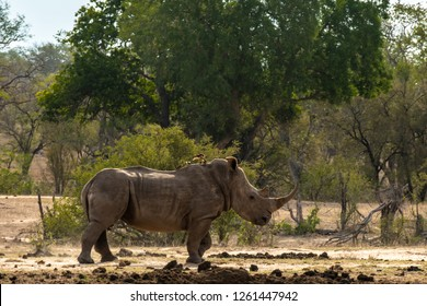 White rhino on the savannah in South Africa, endangered due to poaching