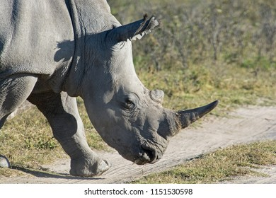 White Rhino portrait. Taken at the Khama Rhino Sanctuary in Botswana.