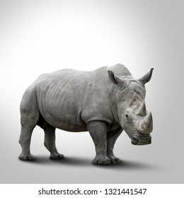 A white rhino. Rhinoceros with big horns isolated on grey background