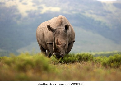 A white rhino / rhinoceros with big horns grazing in an open field in South Africa