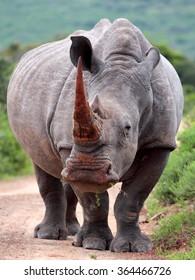 A white rhino / rhinoceros grazing in an open field in South Africa