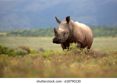 A white rhino / rhinoceros grazing in an open field in South Africa