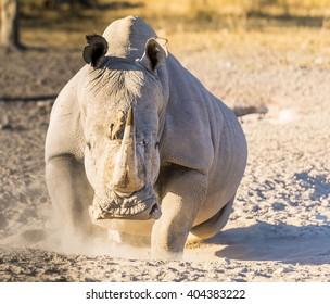 White Rhino or Rhinoceros looking angry while on safari in Botswana, Africa