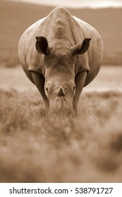 A white rhino / rhinoceros staring straight at the camera in this amazing low angle photo taken on safari in South Africa