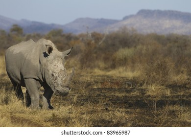 White Rhino in a scorched bush.
