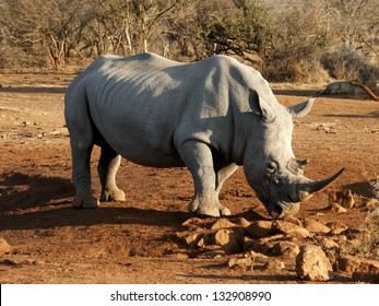 White Rhino South Africa with Lion Watching Behind