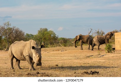 A white rhino with two African elephants in the background drinking out of a water reservoir in South Africa