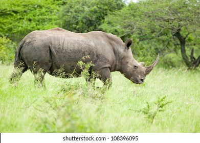 White Rhino in Umfolozi Game Reserve, South Africa
