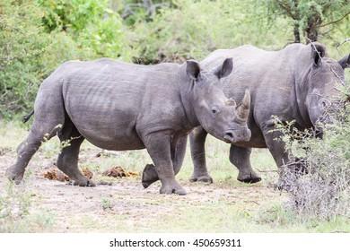 White rhino walking in African bush, Kruger National Park
