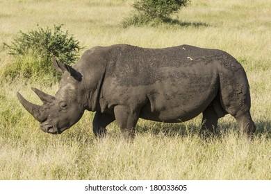 White Rhino walking in the African savanna