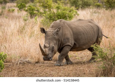 White rhino walking towards the camera in the Kruger National Park, South Africa.