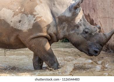 white rhino at the zoo.