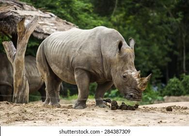 White rhino in the zoo.