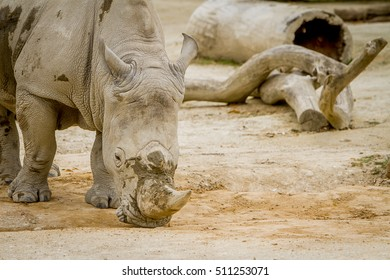 white rhino at zoo