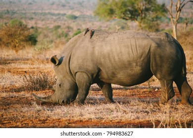 A white rhinoceros with 2 oxpecker birds on the back