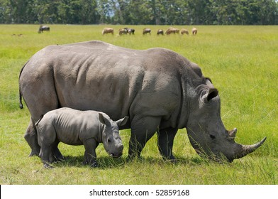 white rhinoceros with 2 weeks calf