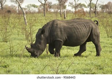 White Rhinoceros in Africa Bush Lands