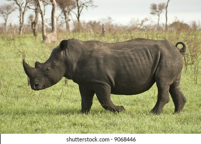 White Rhinoceros in Africa Bush Lands 2